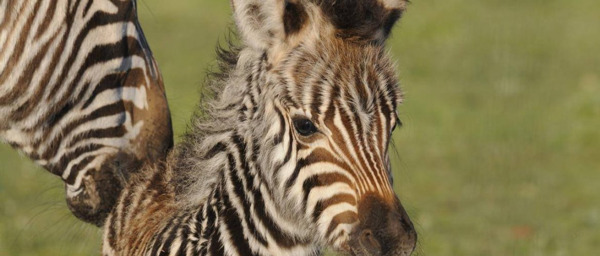 Zebra foal welcomed at SA's Monarto Zoo