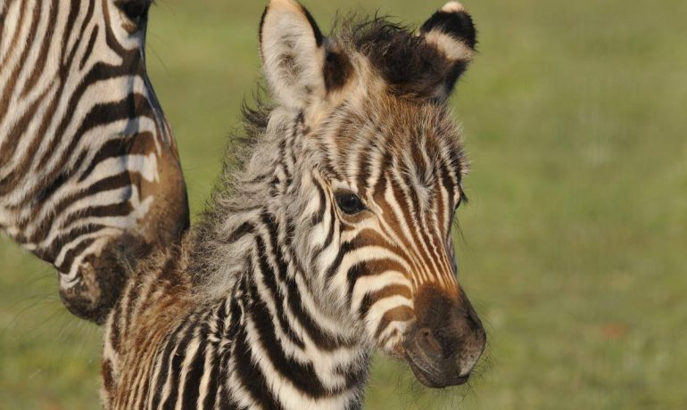 Zebra foal welcomed at SA's Monarto Zoo